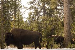Buffalo in Yellowstone National Park, Wyoming Royalty Free Stock Image