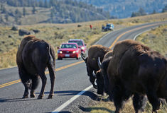 Buffalo in Yellowstone NP. Buffalo herd over Road in Yellowstone National Park as a Typical Phenomenon here stock images