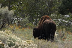 Buffalo in yellowstone park Royalty Free Stock Photography