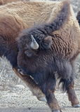 Buffalo yoga. Buffalo scratching an itch in The National Elk Refuge, Bordering Grand Teton National Park Royalty Free Stock Photo