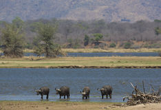 Buffalo by the Zambezi River. Buffalo standing in the Zambezi river Stock Image