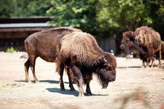 Buffalo in zoo Royalty Free Stock Photography