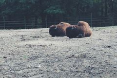 Buffalo. At zoo Royalty Free Stock Images