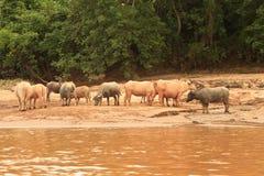 Buffaloas和母牛在Nam Ou河 库存照片