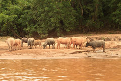 Buffaloas e mucche al fiume di Nam Ou Fotografia Stock