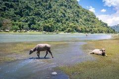 BuffaloCarabao da água de Filipinas Fotos de Stock Royalty Free