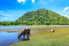 BuffaloCarabao da água de Filipinas Fotografia de Stock