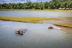 BuffaloCarabao da água de Filipinas Imagem de Stock Royalty Free