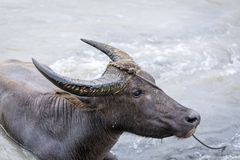 BuffaloCarabao da água de Filipinas Fotos de Stock