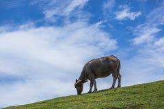 Buffaloe indonesiano dell'acqua Immagine Stock Libera da Diritti