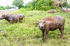 buffaloed 在领域,泰国的水牛城小牛 库存图片