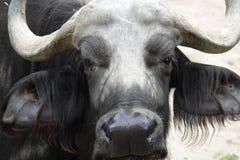 buffaloed 免版税库存图片