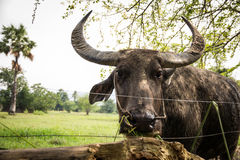 buffaloed 库存照片