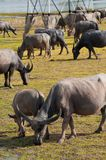 Buffaloes Royalty Free Stock Photos