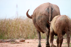 Buffaloes. A buffalo kid is walking along with its mother stock photography
