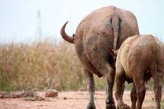 Buffaloes Stock Photography