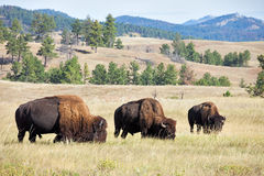 Buffaloes Stock Image