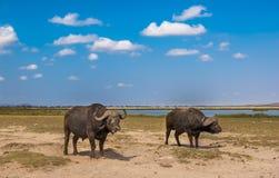 Buffaloes at amboseli national park, kenya Royalty Free Stock Images