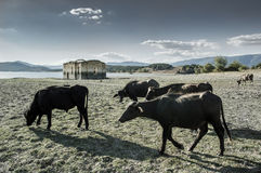 Buffaloes around the abandoned village of Zapalnya's church Stock Images