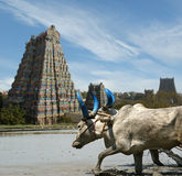 Buffaloes on the background of Meenakshi Hindu Stock Image