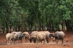 Buffaloes and calfs in the forest Stock Images