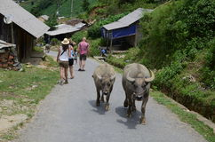 Buffaloes at Cat Cat village in Sapa Stock Photo