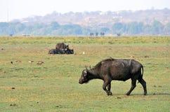 Buffaloes in Chobe National Park, Botswana Stock Image