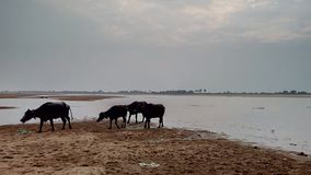Buffaloes coming out of the water stock images