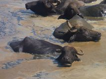 Buffaloes in the dirty water Stock Photography