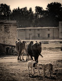 Buffaloes & dogs in a village. A picture of buffaloes walking away and a dog sniffing another dog, in a village setting in Pakistan Royalty Free Stock Photo