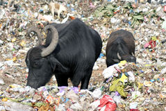 Buffaloes eating garbage Royalty Free Stock Photography