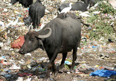 Buffaloes eating garbage in the dumping yard. Royalty Free Stock Photography