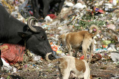 Buffaloes eating garbage in the dumping yard. Stock Images