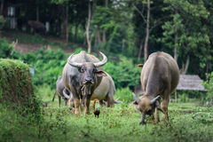 Buffaloes are eating grass at the fields in Chiang Mai. Royalty Free Stock Image