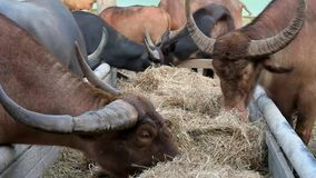Buffaloes are eating straw stock video footage