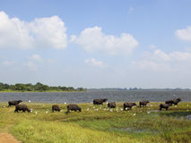 Buffaloes and egrets anuradhapura Royalty Free Stock Photos