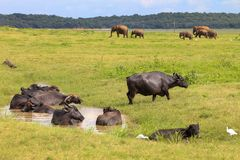 Buffaloes and Elephants stock photography