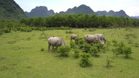 Buffaloes feed with fresh grass on large meadow aerial view. Grey water buffaloes feed with fresh grass on large meadow against forest and mountains aerial view stock footage