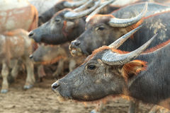 Buffaloes on field1 Royalty Free Stock Image