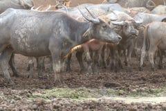 Buffaloes on field Royalty Free Stock Photo
