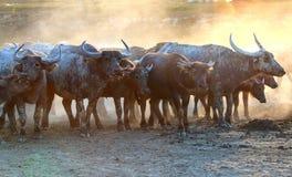 Buffaloes on field7 Stock Photo
