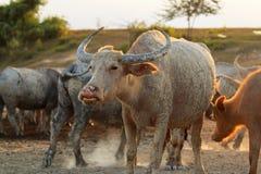 Buffaloes on field5 Stock Photos