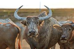 Buffaloes on field4 Royalty Free Stock Photos
