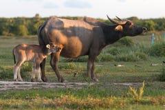 Buffaloes on field8 Stock Photo