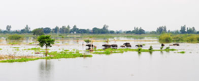 Buffaloes on the field at flood season in Dong nai, Vietnam.  Royalty Free Stock Photography