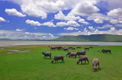 Buffaloes in a field of grass with blue sky Stock Photography