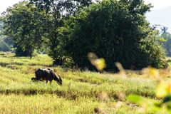 Buffaloes in a field Stock Image