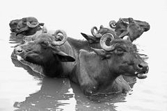 Buffaloes Royalty Free Stock Image
