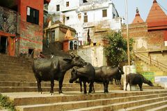 Buffaloes at Ganges. Buffaloes at the banks of the holy Ganges river, shortly before they take their bath in the river. Photo taken in Varanasi, Northern India Stock Photo