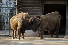 Buffaloes going home Stock Image